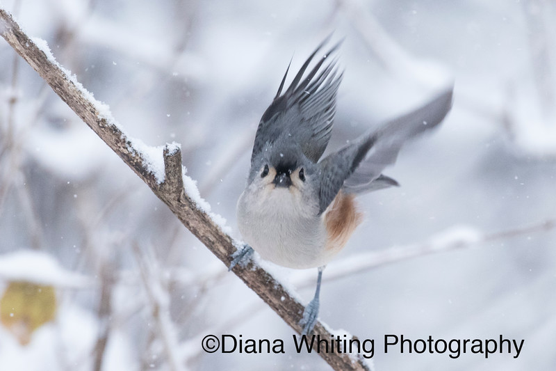 Wings Up Titmouse