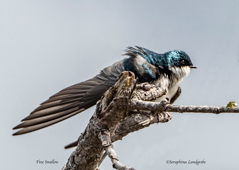 _DSC9931Tree Swallow.jpg
