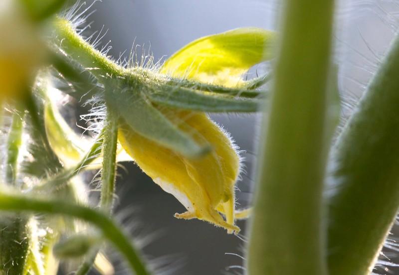 tomato blossom
