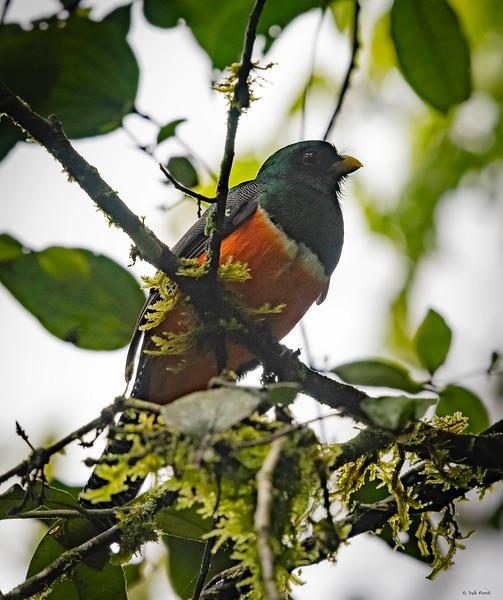 Orange-bellied Trogon (male)