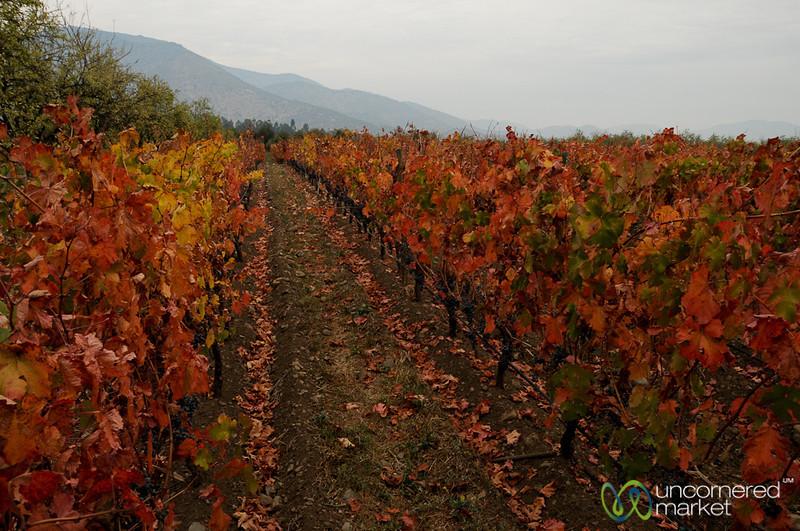 Fall Colors at Antiyal Winery - Maipo Alto, Chile