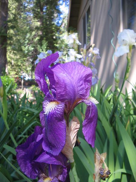 06_20_06 Purple Iris