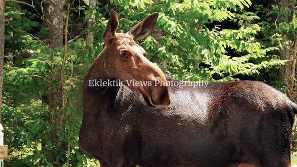 Moose in Amherst, New Hampshire