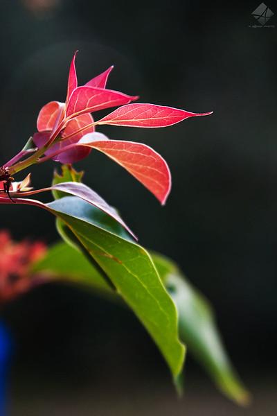Day 372 - Red Leaf