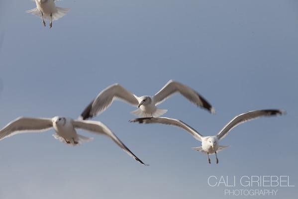 Seagulls at Vista Point