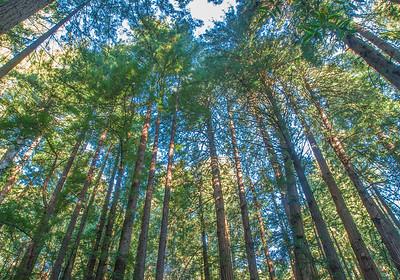 Muir Woods #KW-56