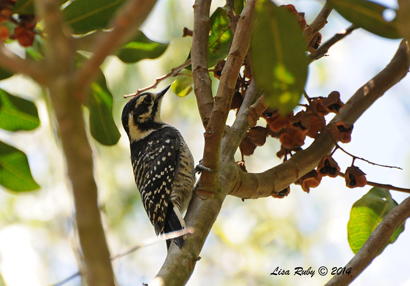 Nuttall's Woodpecker -  5/26/2014 - Batiquitos Lagoon