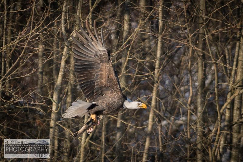 Eagle Sml-8.jpg