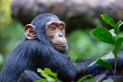 Chimps of the Kibali Mountains
