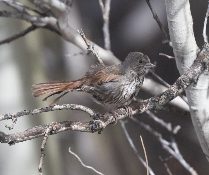 Fox Sparrow (Slate Colored } Wifred  Canyon 2019 05 03-2.CR2