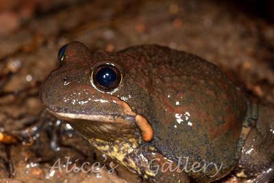 Limnodynastes dumerilii fryi (Snowy Mountains Banjo Frog)