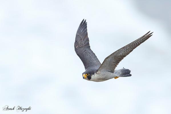 Peregerine Falcon