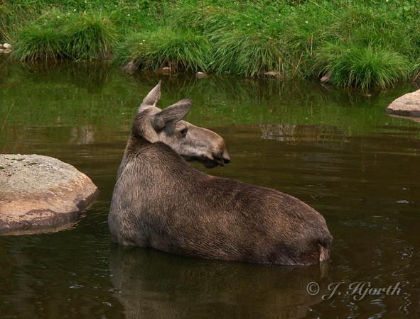 Elg - Moose - (Alces alce)