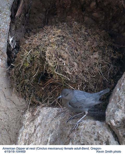 American Dipper at nest F104469.jpg