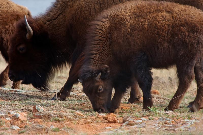 American Bison-4