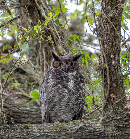 Great Horned Owl - Brazos Bend State Park