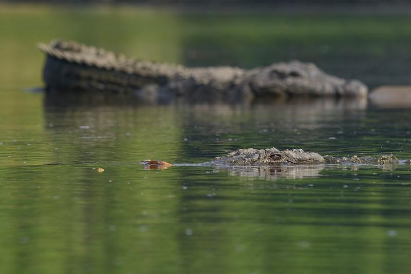 Two-Crocs.jpg