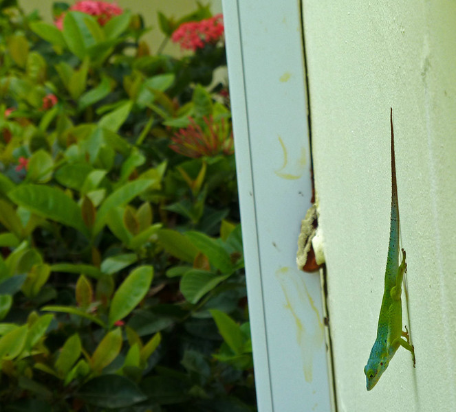 I get numerous visitors including monkeys, hermit crabs, non-hermit crabs, bats, mongoose, and these amazing green lizards.