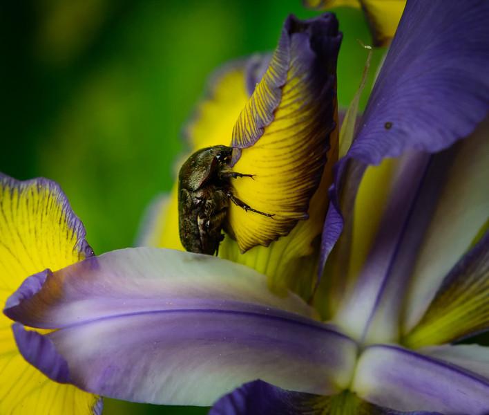 Bug in the Iris-.jpg