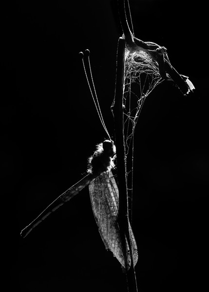 Owl-fly-Agumbe-black&white-representation-3.jpg
