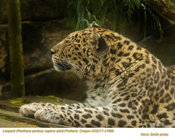 Leopard AC31686.jpg