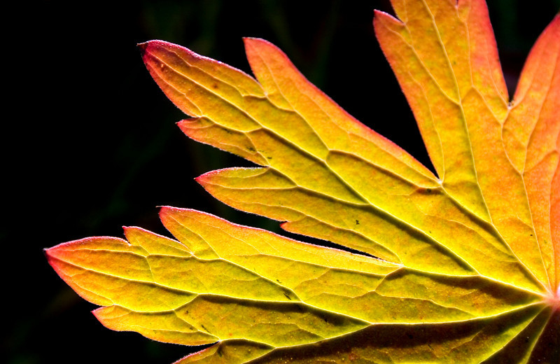 geranium leaf3.jpg