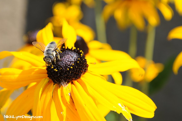 Plant black-eyed Susans in your garden to attract insects, birds, and butterflies. Birds eat insects that visit the flowers and seeds.   Butterflies like the black swallowtail and Eastern tiger swallowtail love to collect the nectar.