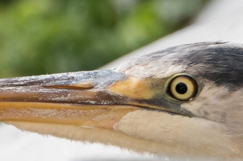 czapla siwa | grey heron | ardea cinerea