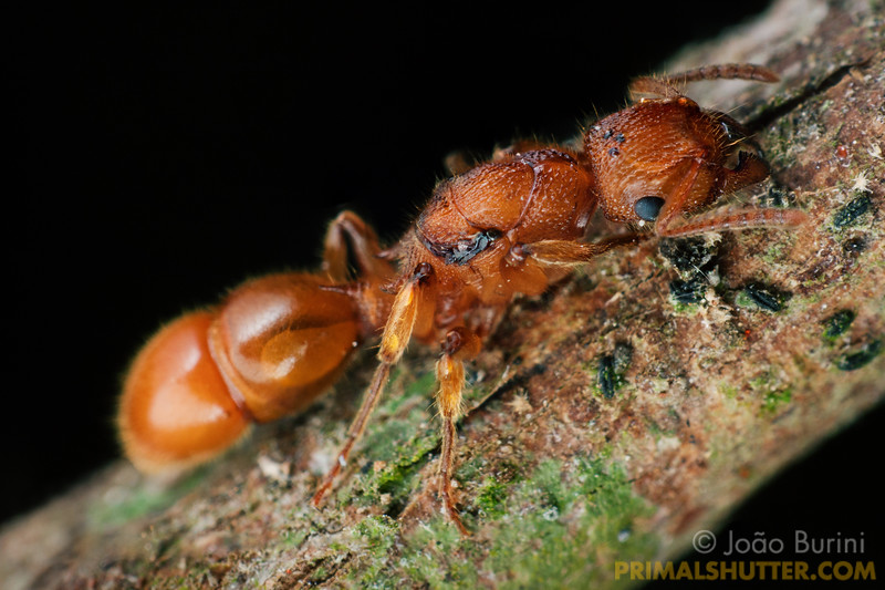 Queen of arboreal ant species