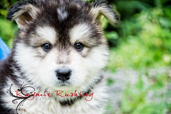 Large Breed Huskies