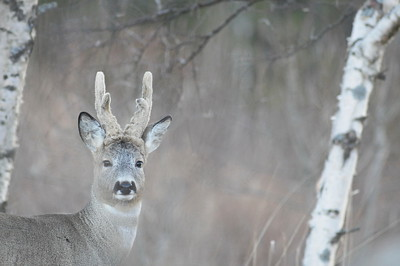 Portrait of a roe buck