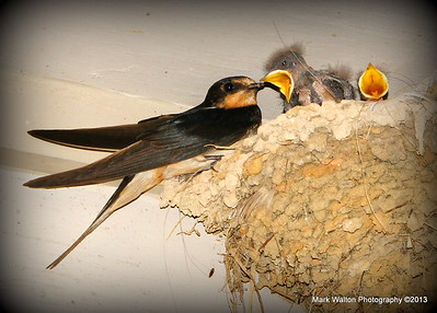 Squirrels & Baby Swallows 2013