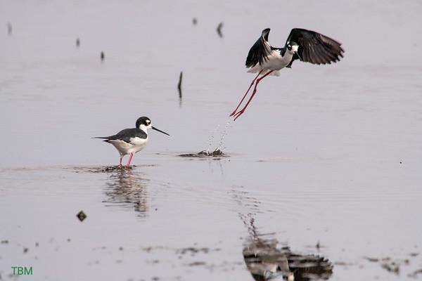Wading : Shore Birds