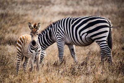 Zebras ~ Hearst Ranch