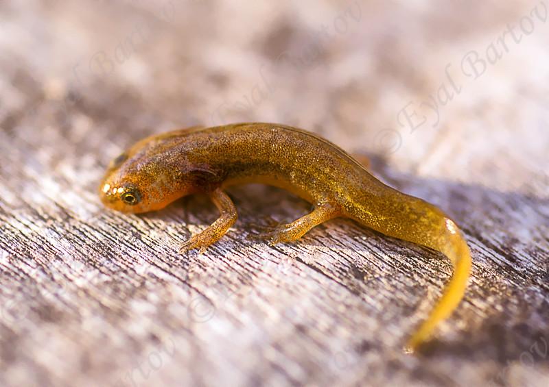 Southern banded newt  (Ommatotriton vittatus) טריטון הפסים
