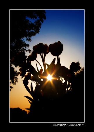 Tulips in the sun, 05.14.2007