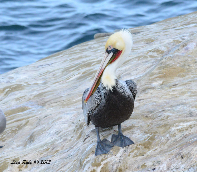 Brown Pelican - 12/1/13 - La Jolla Cove