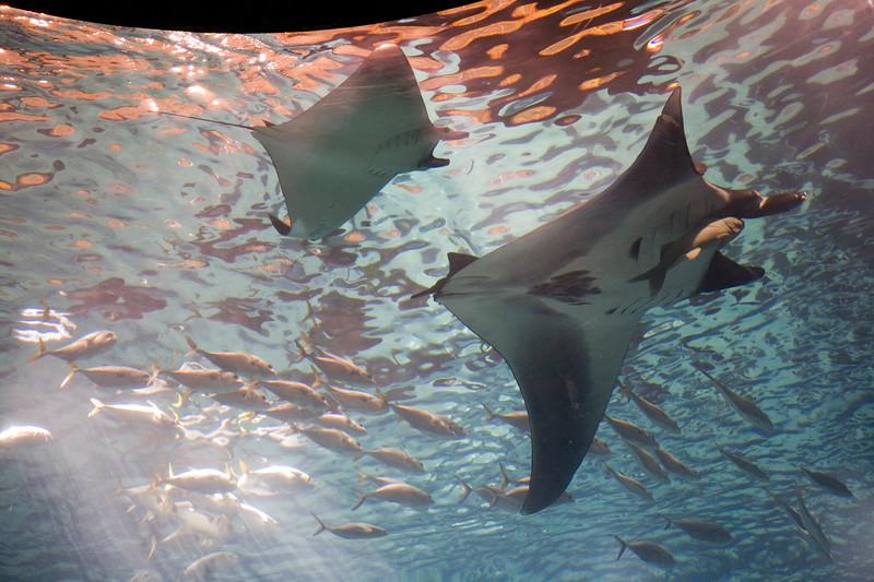 A couple of giant manta rays, Lisbon Oceanario
