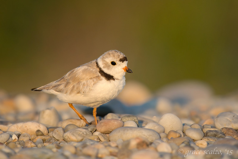 Piping Plover Adult Female