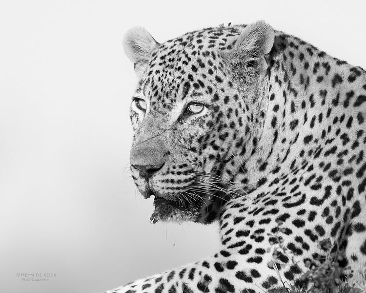 Leopard (Tingana), b&w, Sabi Sands (EP), SA, Oct 2016-4.jpg