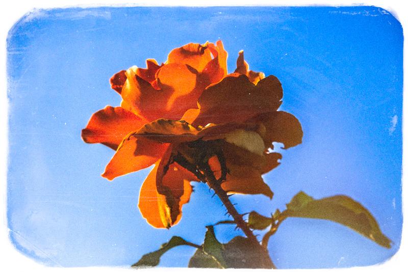 September 6 - Summer rose.jpg