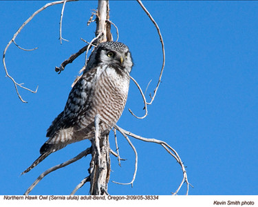 NorthernHawkOwl38334.jpg