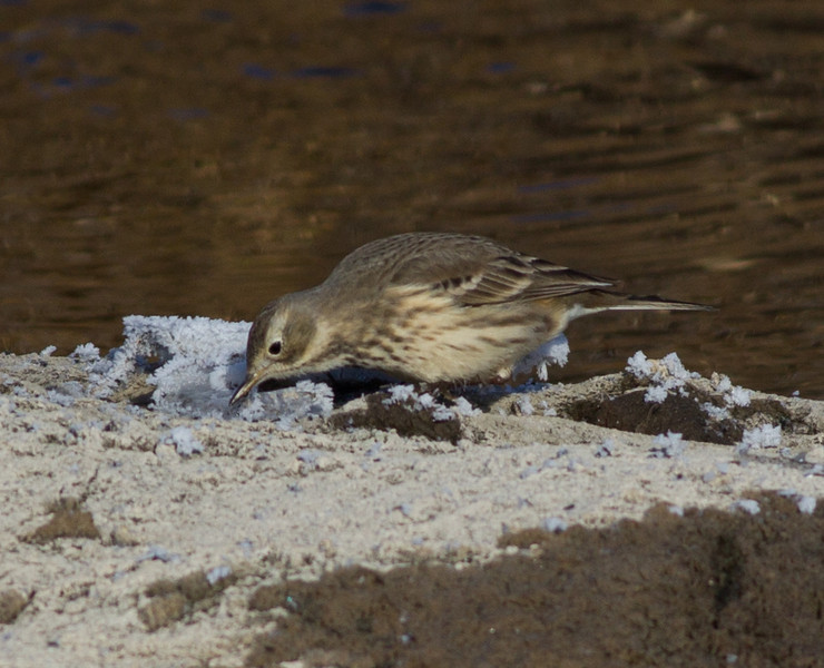 American Pipit Mammoth Lakes  2013 12 16-1.CR2