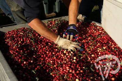 Cranberry Harvest ■ 2017