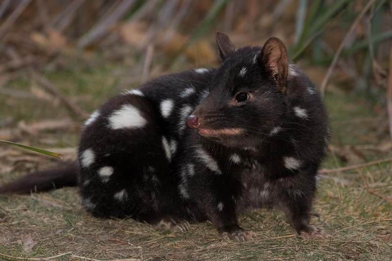 Spotted-tailed quoll, Tasmania