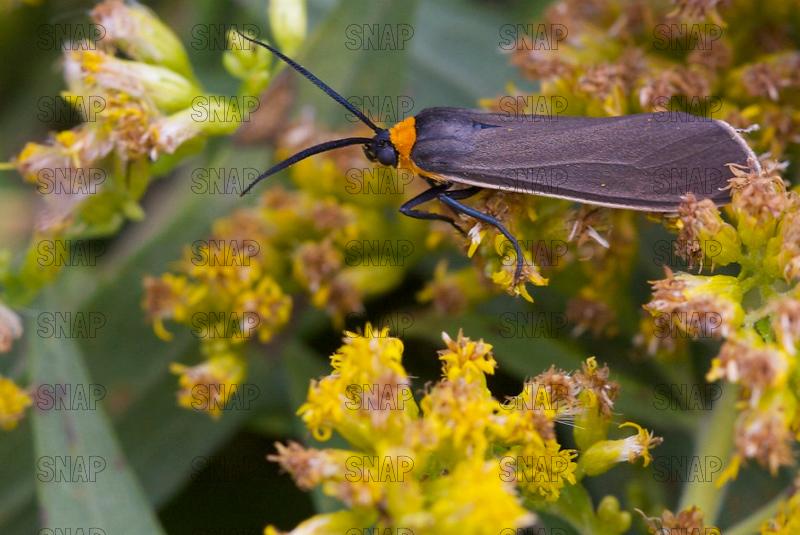 Virginia Ctenucha Moth (Ctenucha virginica).