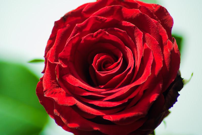 Rose-8.jpg