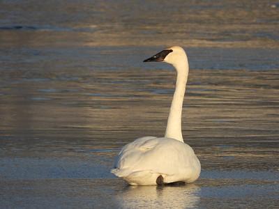 20200322 Trumpeter Swan
