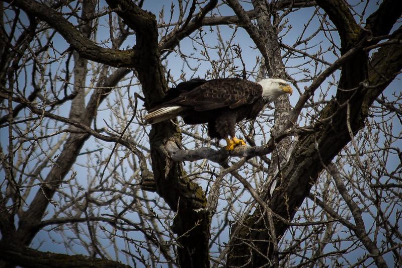 Eagle eating-7018.jpg