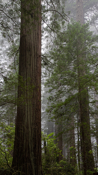 redwoodsFin29-1200.jpg